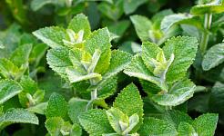 Травяное садоводство: советы по использованию мяты