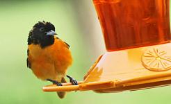 Як склеїти птахів перо