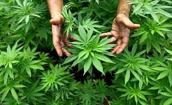 Är Marijuana verkligen starkare?