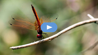 Spirit Touching Kort in Form: Wisdom from a Damselfly (Video)