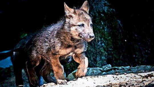 為什麼你的小狗得到你而狼崽不會