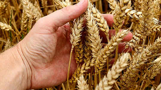 È possibile rimuovere le parti sbagliate del grano?