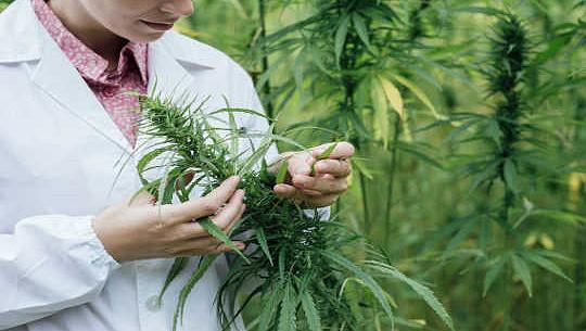 Apakah Cannabis Menyebabkan Penyakit Mental?